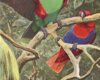 Eclectus parrot original 1922 art print - Natural history, wall decor, bird - 94 years old German antique lithograph illustration (C140)