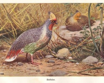 Blood pheasant, original 1922 ornithology art print - Wall decor, fowl - 93 years old German antique lithograph illustration (B334)