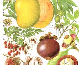 Vintage Mango Print - Beautiful Detailed Fruit Lithograph from the 1970's