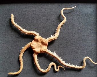 Real Giant Brittle Star