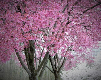 Pink & White Cherry Blossoms In Soft Shades of Gray #28