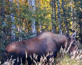 Moose on the Loose in Alaska
