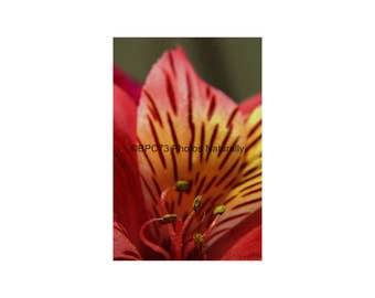Red Alstromeria  Fine Art Photographic Print 8x12, 12x18, 16x24, or 20x30