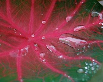 Caladium After the Rain