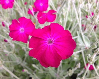 Rose Campion Seeds (Silene coronaria or Lynchis coronaria)
