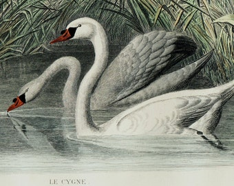 1848 Antique print of a SWAN, lovely white swans in a lake, Fine hand colored victorian engraving. +165 Years old