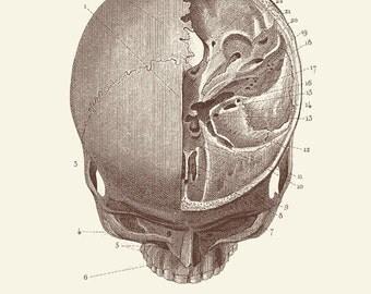 """Vintage Human Anatomy, Skull, """"L'anatomie Humaine"""" Print 8x10 P302"""