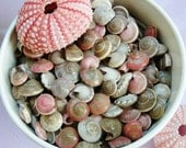 Sea Shell SALE ~ Pink Umbonium Shells (7 oz bag)~ Great for Crafting ~ Beautiful Natural colors ~ 4 X 5 Inch Bag