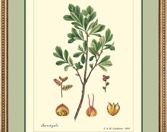SWEETGALE or BOG-MYRTLE - Botanical print reproduction 375