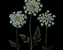 Queen Anne's Lace - Set of 6 Pressed Flower Cards - 6 Notecards