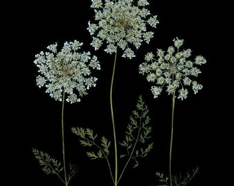 Queen Anne's Lace - Set of 6 Pressed Flower Cards - 6 Notecards - #033