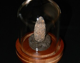 Finely Detailed Petrified Pine Cone or Fir Cone - Silicified Conifer Cone with Bell Jar Desktop Display - From Morocco