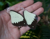 Mocker Swallowtail Butterfly Wing - Jewelry - Earrings - Resin - Natural History - Museum - Oddity Curiosity