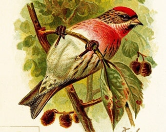 Holboell's Red Poll Bird - Late 1800s Vintage Illustration