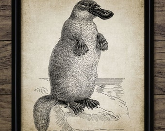 vintage platypus art print antique duck billed platypus poster animal illustration digital