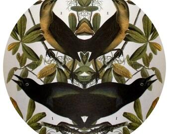Strange Bird Audubon Collage: Boat-tailed Grackle