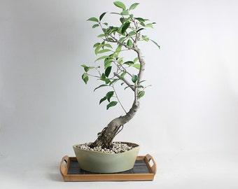 "Taiwanese Ficus Bonsai Tree ""Fall'16 Ficus Collection by LiveBonsaiTree"""