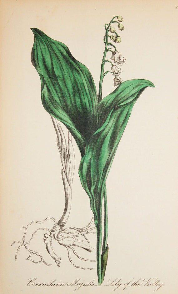 Lily of the Valley - Antique Botanical Print, 1863 Hand Coloured Engraving