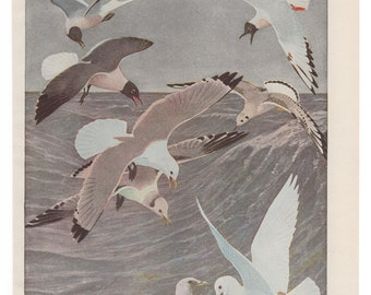 Vintage Print Birds North America Sea Gulls Color Book Plate 1950s