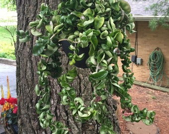 Hindu Rope Hoya - Hoya Compacta -  Succulent Plant Cutting
