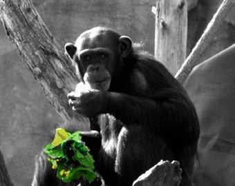 CHIMPANZEE PHOTOGRAPH  in black and white