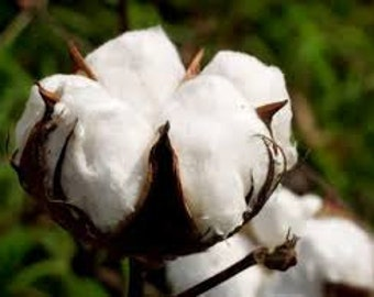 White Cotton Seeds, Gossypium, Spinning, Great Kids Plant, Unique Plant for Interest