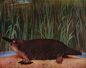 platypus pictures to print photo16
