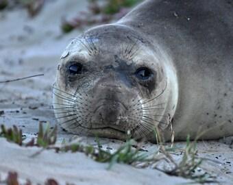 Sea Lion #3, Seal photo