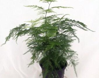 "Fern Leaf Plumosus Asparagus Fern - 4"" Pot - Easy to Grow - Great Houseplant (FREE SHIPPING)"