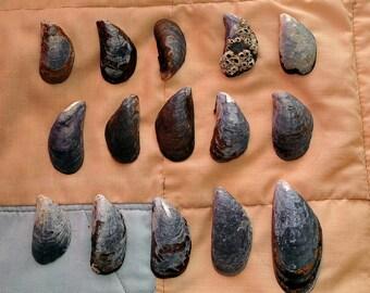 15 mussel shells/craft supplies/fish tank decor/ terrarium/miniature garden/fairy garden/faery/beach art/sea/shells