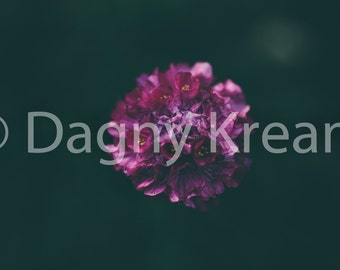 Magenta flower - macro fine art nature photography print - 4x6 5x7 8x10