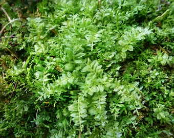 Small Variety Pack Moss 10 species plus