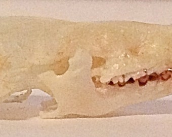 Lesser shrew skull taxidermy