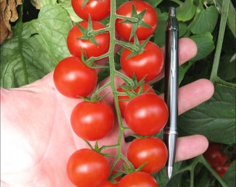 Cherry Tomato Large Red (select 50 thru 12,500 seeds) heirloom bulk salad #96
