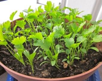 Coriander Leisure Cilantro (100 thru 5,600 seeds ) chinese parsley herb #147