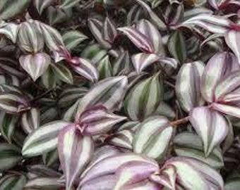 Live House Plant Wandering Jew *So Easy* Enjoys low light*