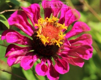 Zinnia Photograph, Pink Flower Photo, Purple Flower Photo, Floral Art Print, Macro Photography, Nature Photography, Wall Decor Art Print