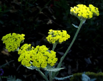 Yellow Yarrow Print