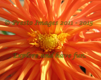 Orange Dahlia, High Resolution Digital Download Photograph.