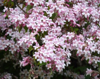 Kolkwitzia Amabilis 15/50/100 Seeds, Cold Hardy Flowering Beauty Bush Shrub