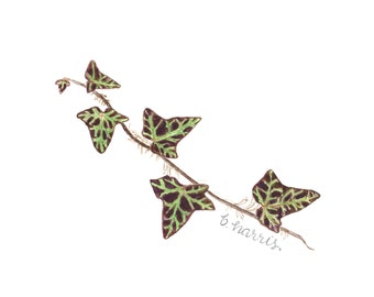 original watercolor - sprig of ivy