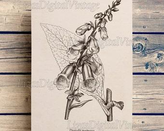 Digital print, Foxglove, Vintage Botanical Print, Printable Antique image, Floral print, Digitalis Purpurea, Illustration download, JPG PNG