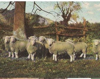 Postcard of  flock of sheep under an oak tree.
