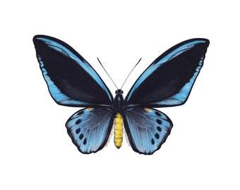 Ornithoptera priamus - Blue. limited edition A4 art print