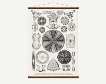 Vintage pull down chart of Diatoms White. High Quality Handmade vintage art