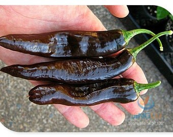 CHILACA or PASILLA BAJIO, 50 seeds, seeds, organic