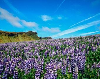 Icelandic Lupins