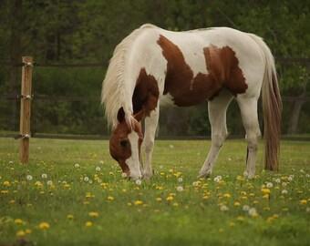 Paint Horse Photo