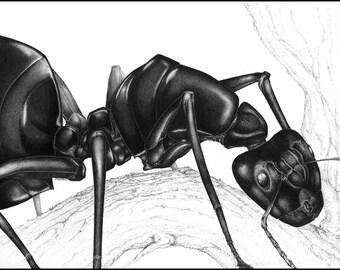 Ant - Fine Art Print