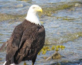 Bald Eagle photograph - Alaska - Nature photography - Travel photography - freedom - America